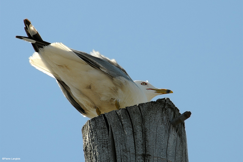 Ring-billed Gull - 2010 - 2