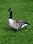 Title: Canadian Goose in London - 2