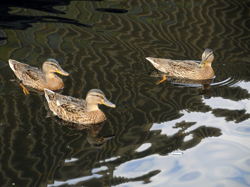 British Ducks - 2011 - 2