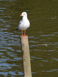 Title: Black-headed Gull - 2011 - 1
