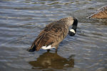 Title: Canadian Goose in London - 3
