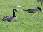 Title: Canadian Geese - 2010 - 13