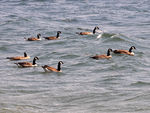 Title: Canadian Geese - 2010 - 12