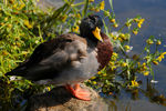 Title: Mallard duck September 2009 - 2