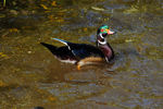 Title: Wood duck - 5