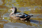 Title: Wood duck - 7