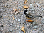 Title: Black-capped Chickadee 2009 - 2
