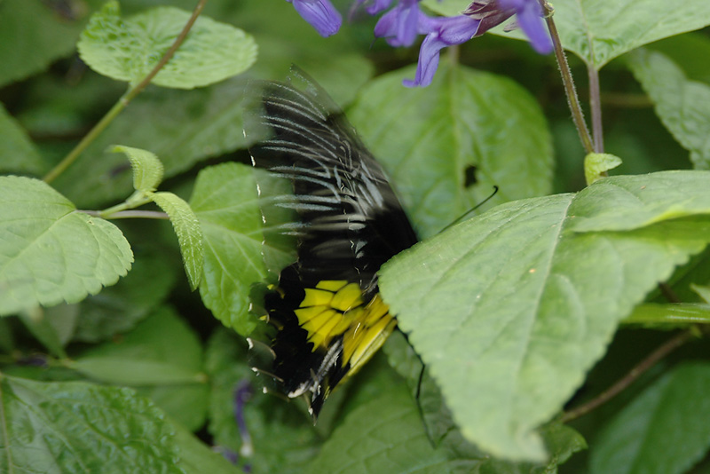 Unknown butterfly - 3