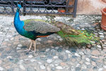 Title: Dominican Peacock