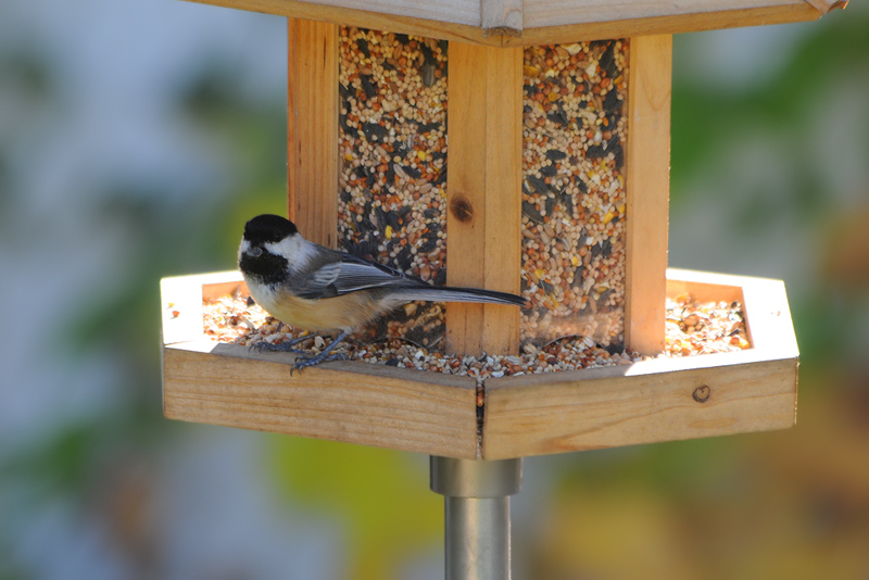 Blacl-capped Chickadee - 3