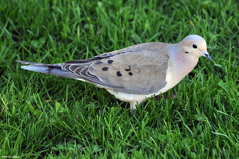 Mourning Dove - 2009 - 3