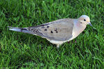 Title: Mourning Dove - 2009 - 3