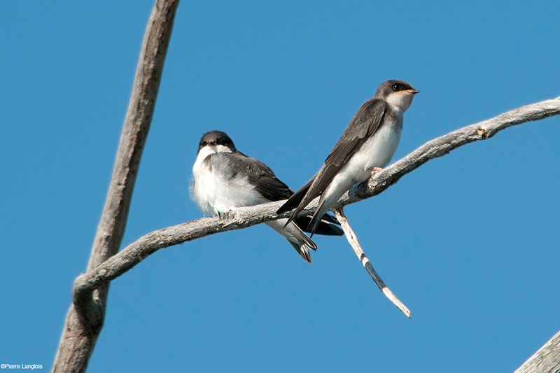 Tree Swallow - 2013 - 2
