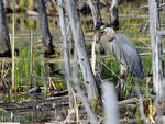 Title: Great Blue Heron - 2011 - 1