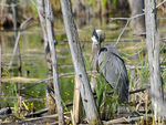 Title: Great Blue Heron - 2011 - 3