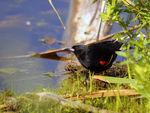 Title: Red-winged Black bird - 2011 - 1