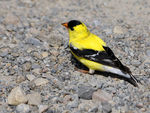Title: American Goldfinch - 2011 - 1