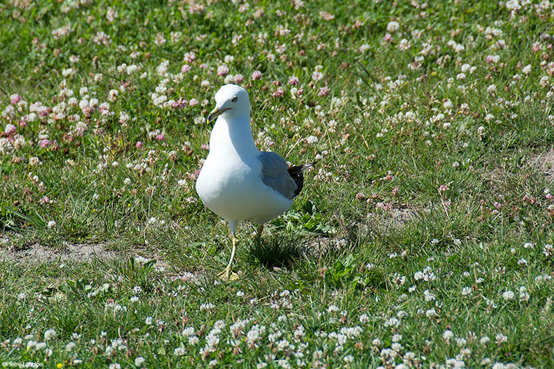 Ring Billed Gull - 2018 - 4
