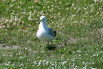 Title: Ring Billed Gull - 2018 - 4