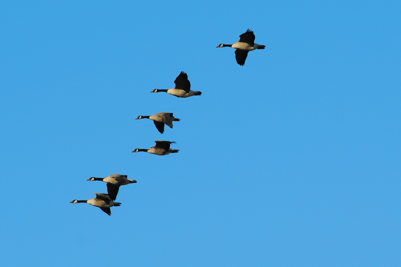 Canadian Geese- 6