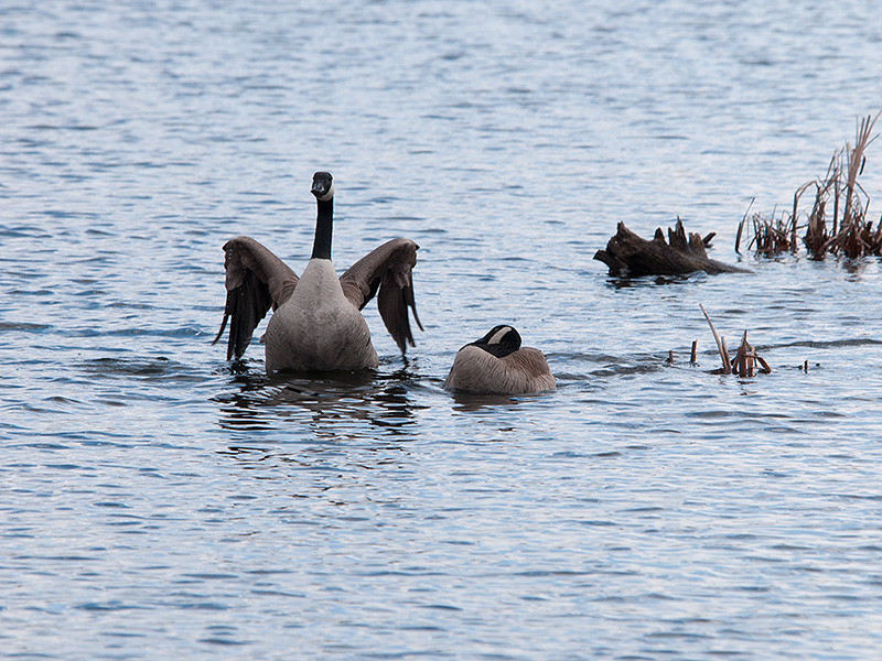 Canadian Geese - 2013 - 1