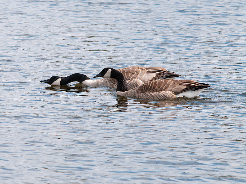 Canadian Geese - 2013 - 2