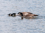 Title: Canadian Geese - 2013 - 2