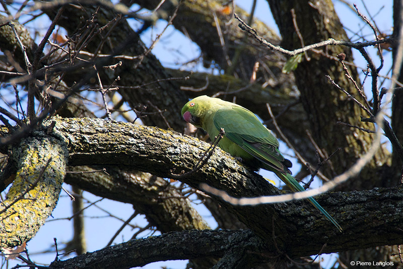 Rose-ringed Parakeet - 2018 - 3