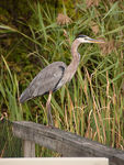 Title: Great Blue Heron - 2013 - 5Nikon D300