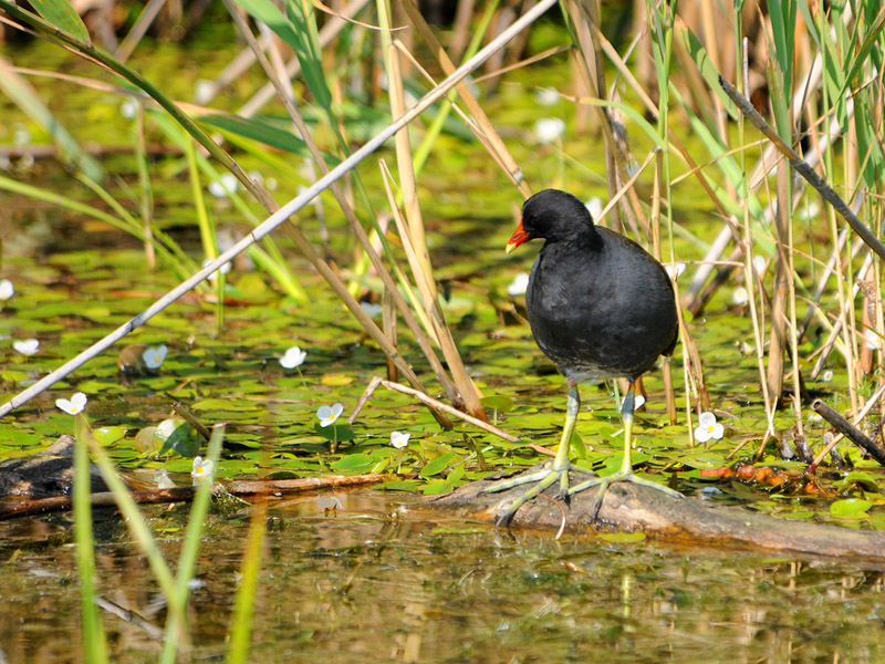 Common Moorhen - 2009 - 6
