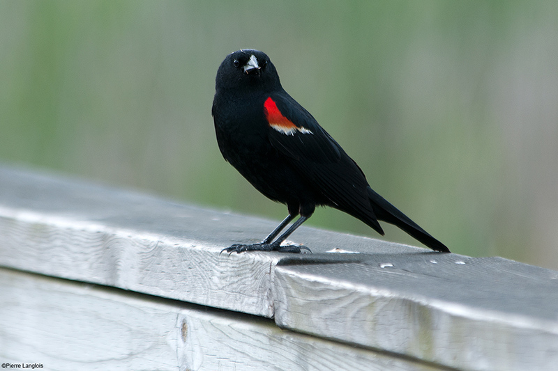Red-winged Black Bird - 2012 - 2