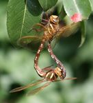 Title: Dragonflies mating