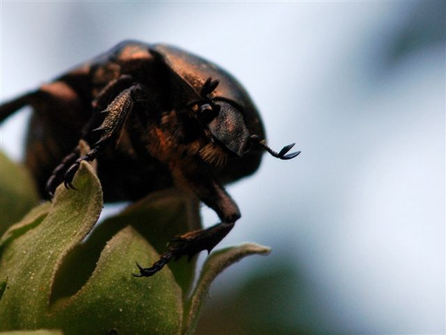 Beetle that can fly (first up load)