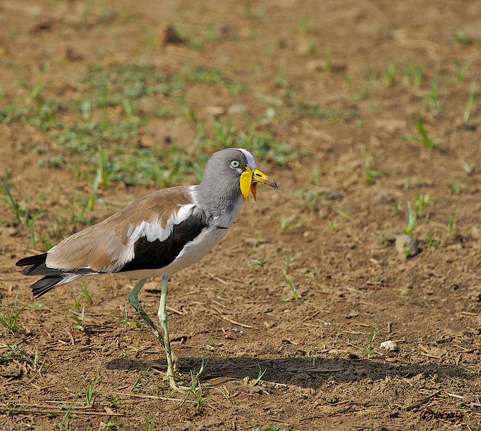 Whitecrowned Plover
