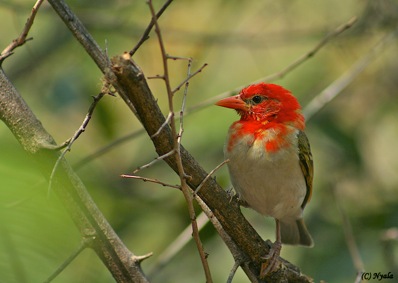 Red Headed Weaver