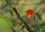 Title: Red Headed Weaver