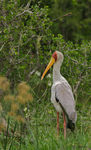 Title: Yellow billed stork