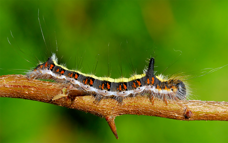 The Larva of Acronicta psi.