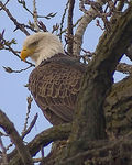 Title: Bald Eagle (Re-post)