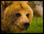 Title: Eurasian Brown Bear