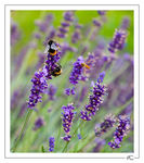 Title: Bees on Lavender