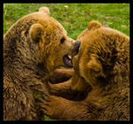 Title: Fighting Brown BearsCanon EOS 20D