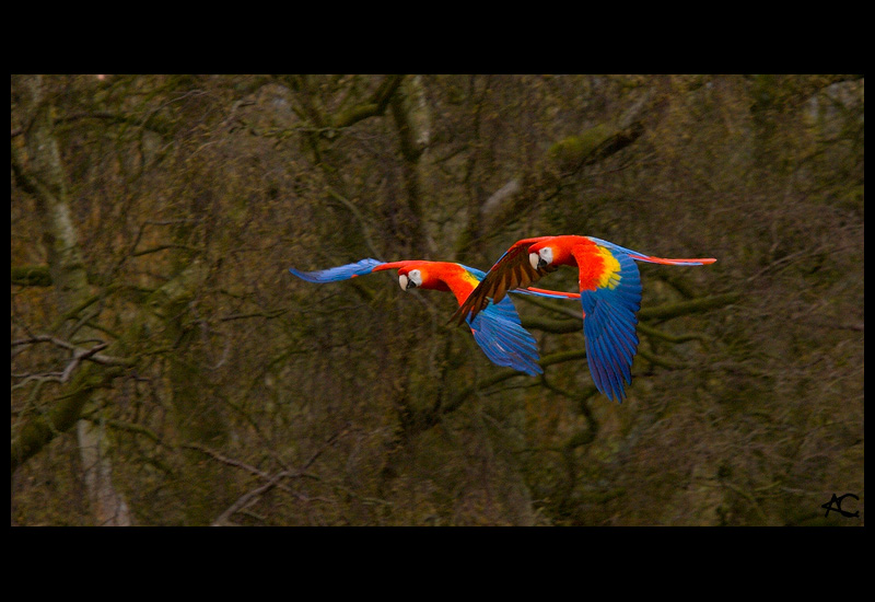Flying Scarlet Macaws