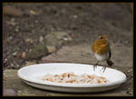 Title: Hungry Robin