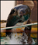 Title: Jumping Sea Lion