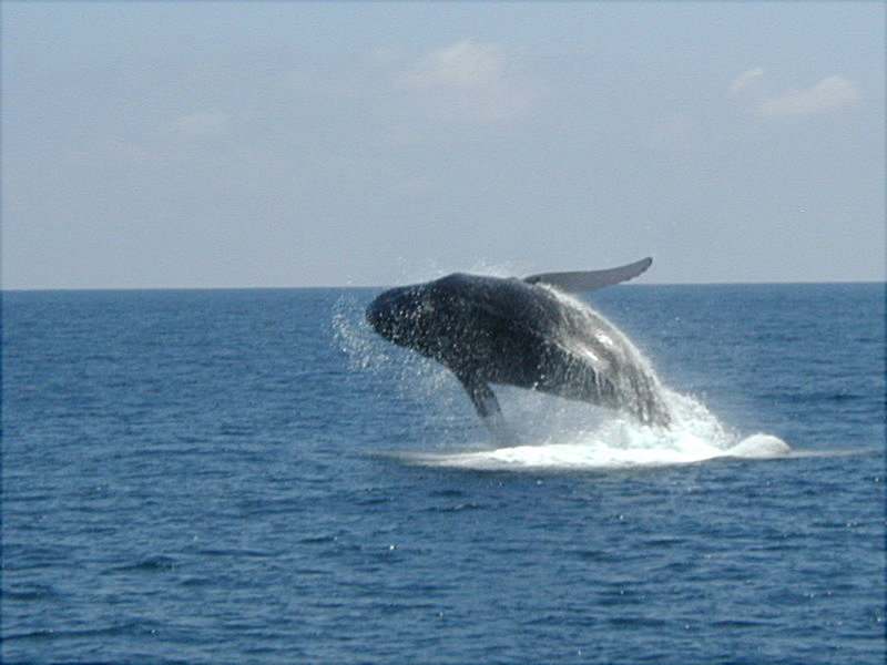 Jump of whale