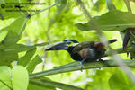 Title: Yellow-eared Toucanet