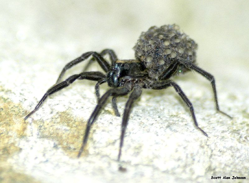 WOLF SPIDER W/YOUNG
