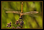 Title: Sympetrum fonscolombii