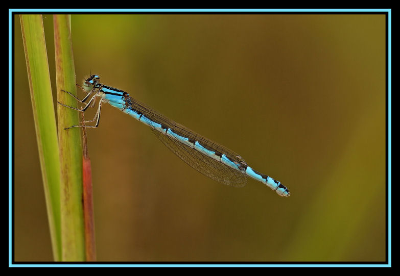 Coenagrion ornatum?